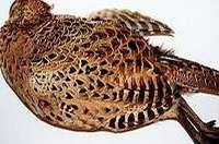 Plumer à sec une poule faisane