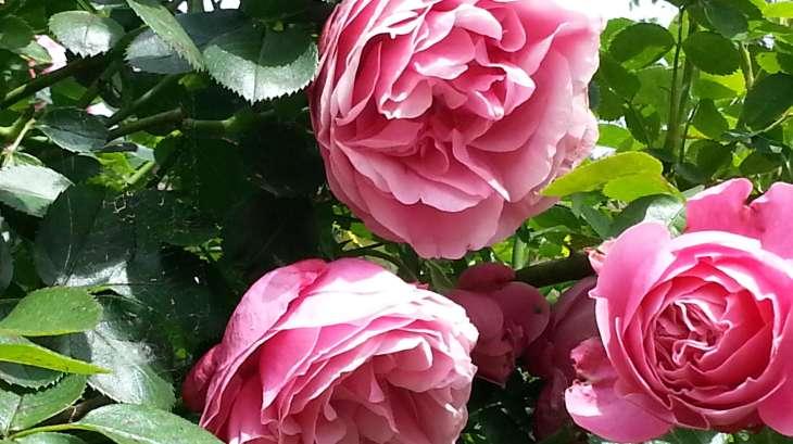 p tales de roses cristallis s et sirop de fleurs recette sirop fleurs recette par chef simon. Black Bedroom Furniture Sets. Home Design Ideas