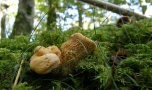 Pieds de mouton dans un bois