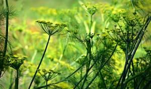 Plantation d'anis vert