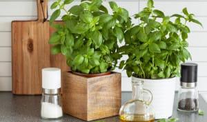 Basilic en pots