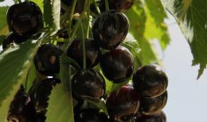 Grappes de cerises noires
