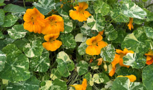 Capucine en fleur