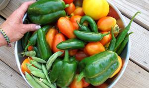 Récolte de tomates, poivrons et petits pois