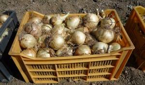 Récolte d'oignons doux des Cévennes