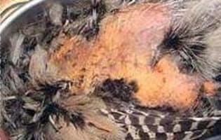 Plumer une poule faisane à sec - Etape 7