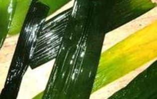 Vitrail de poireaux - Etape 2