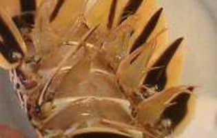 Queue de langouste tropicale - Etape 4