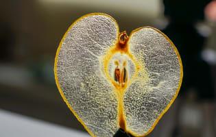 Cristalline de poire