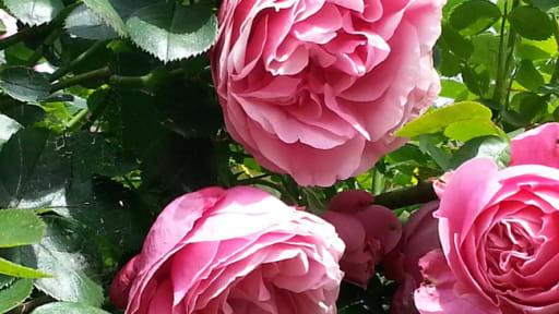 Petales De Roses Cristallises Et Sirop De Fleurs Recette Sirop