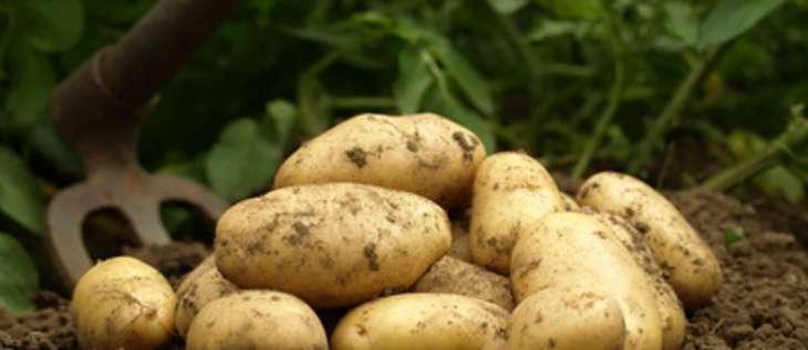 les pommes de terre primeur et les pommes de terre nouvelles histoire vari t s et cuisine. Black Bedroom Furniture Sets. Home Design Ideas