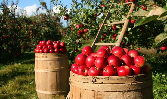 Récolte de pommes dans un verger