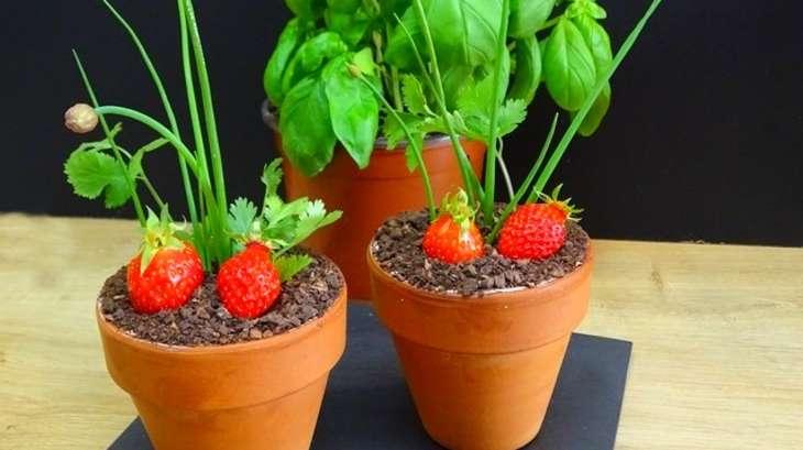 fraisier en pot mousse fraise et pitacou tomate de. Black Bedroom Furniture Sets. Home Design Ideas