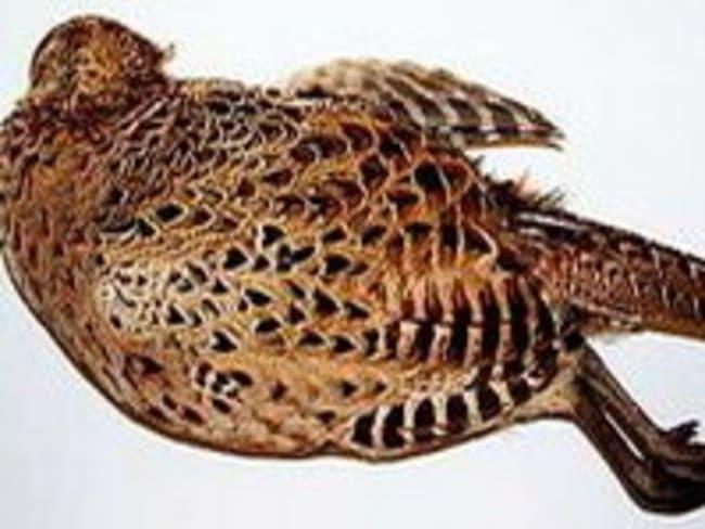 Plumer une poule faisane par immersion