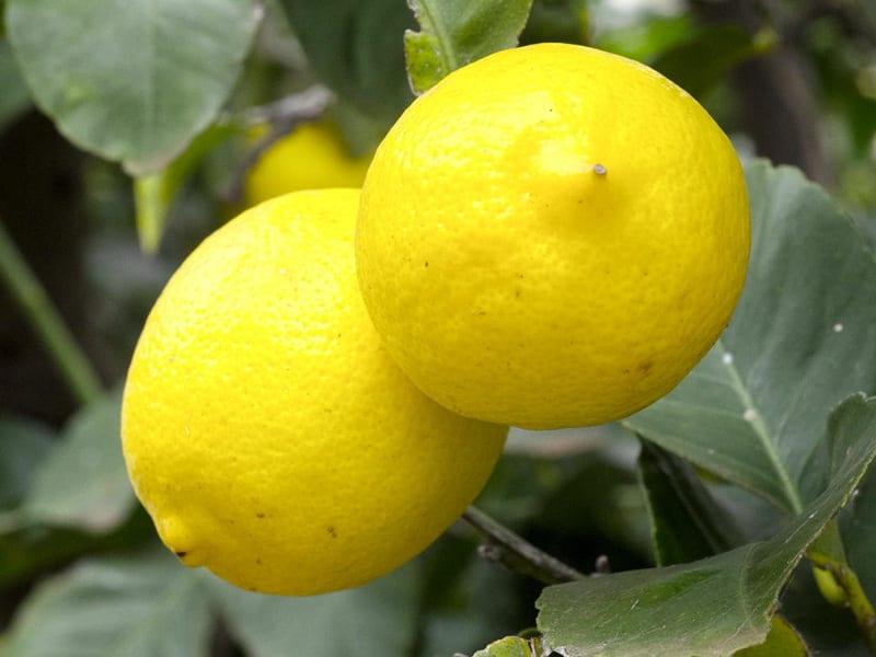 De l'entrée au dessert, apportez une touche fruitée et acidulée à vos  recettes avec le citron
