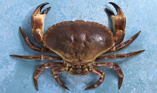 Crabe tourteau