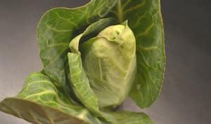 Chou pointu aux larges feuilles vertes