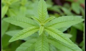 Plante de verveine citronnée