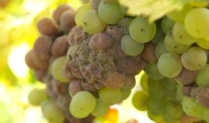 Sauternes raisins avec pourriture noble