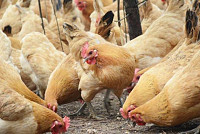 How to prevent chicken disease in...