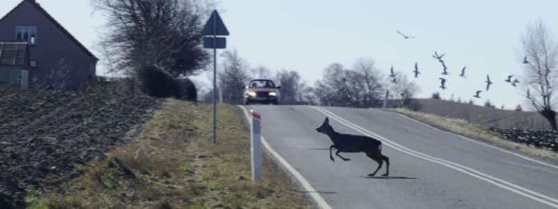 Vildt dyr løber over vej