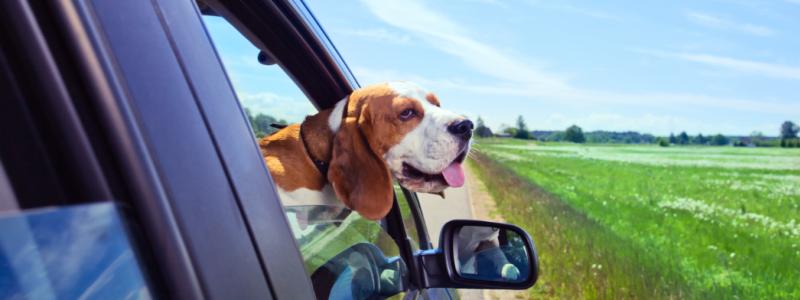 Sommervejr og bil med hund, der stikker hovedet ud
