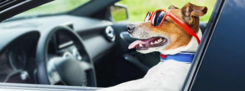 Det skal du tænke på, når du har hunden med i bilen