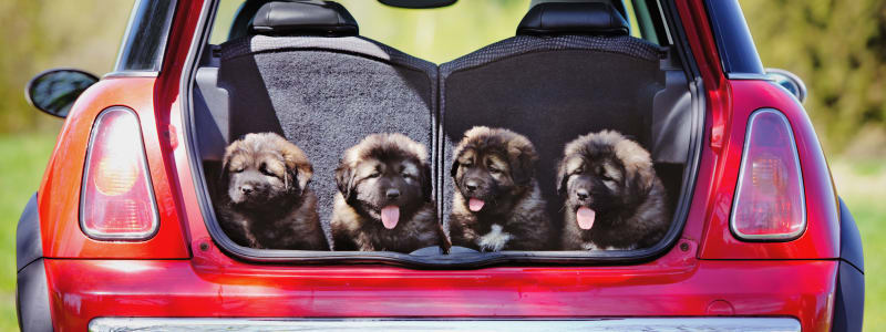 Chiots dans le coffre ouvert d'une voiture
