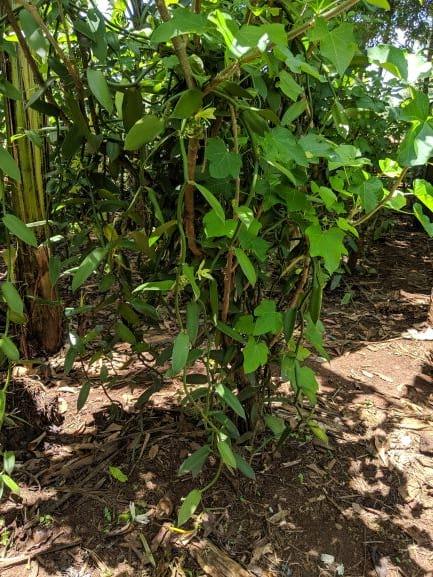 6.12 - Project 2020 - Vanilla - Plant 01.jpg