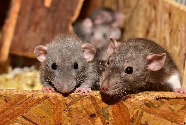 Rattenbekampfung In Haus Und Garten Varianten Kosten Tipps