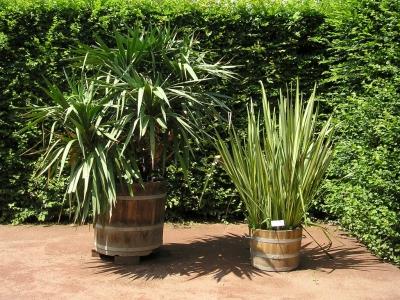 freude auch im fr hjahr dank winterfester palmen. Black Bedroom Furniture Sets. Home Design Ideas