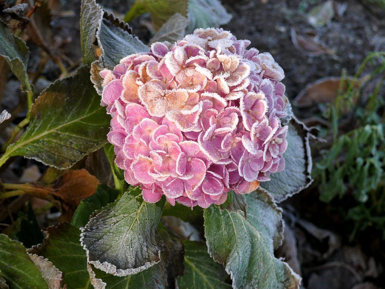 Super Hortensien überwintern: Frostschutz & Schneidetipps @HM_84