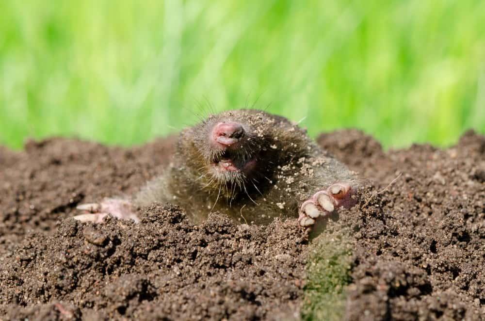 Maulwürfe Im Garten Ursachen