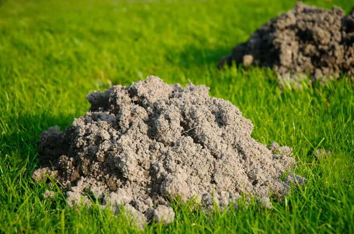 Gemeinsame Maulwürfe aus dem Garten vertreiben: Was hilft? #VP_69