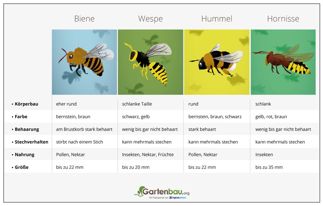 Unterschied Bienen Und Wespen