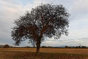Der Nussbaum wird wegen seiner Optik seit Ewigkeiten zum Bau von exklusiven Möbeln genutzt.