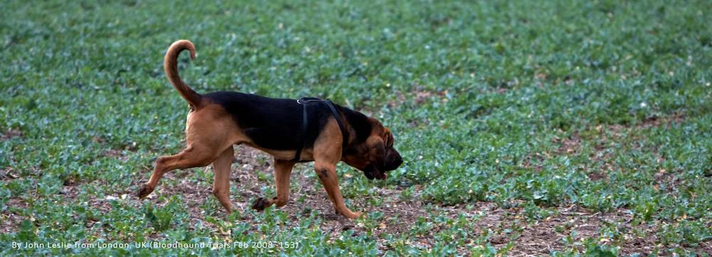Bloodhound tracking a scent