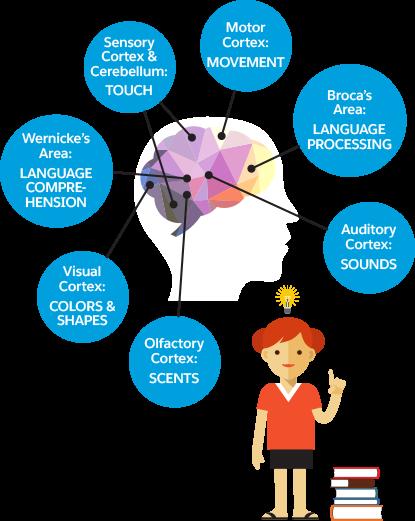 Illustration eines menschlichen Gehirns mit unterschiedlichen Bereichen für unterschiedliche Funktionen