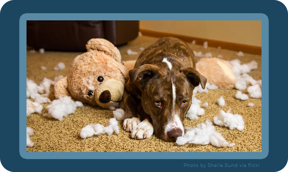 Guilty looking dog next to a torn up teddy bear