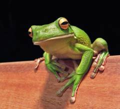 Image of a tree frog that is sent into the Predictive Vision Service
