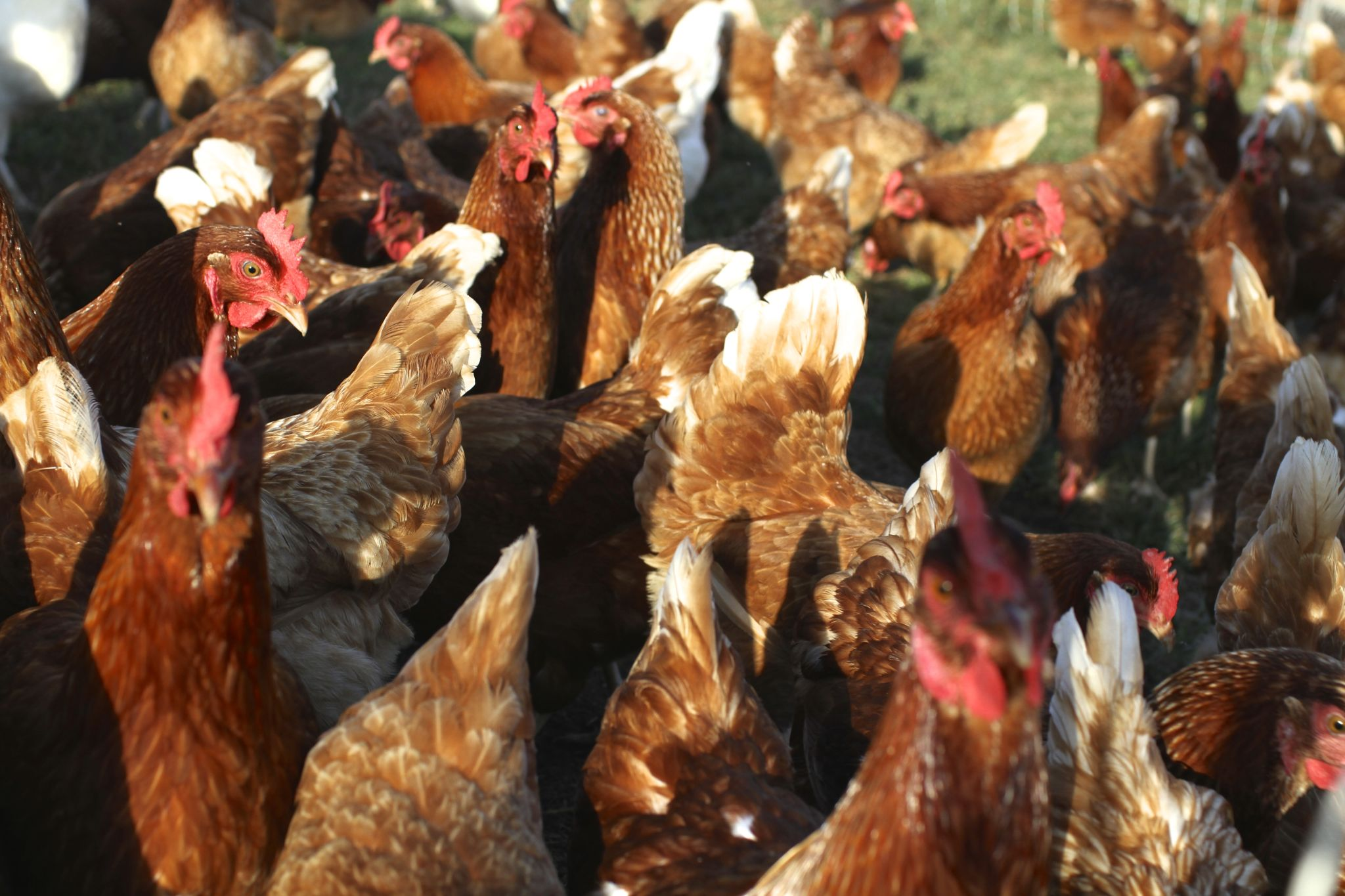 Reproduction, breeding of poultry: a selection of sites