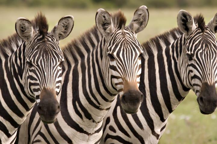 Zebra 1 ddbeuh
