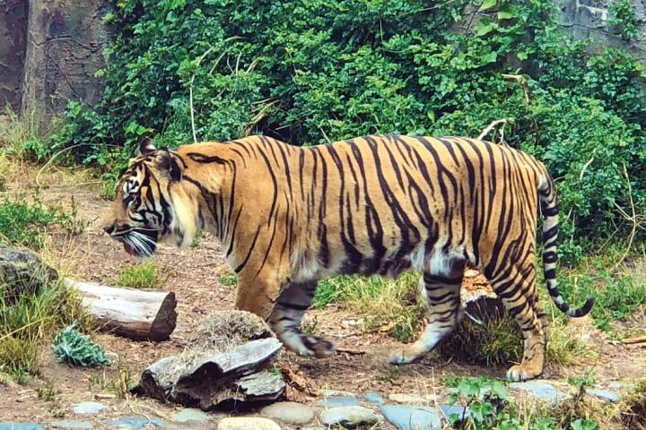 Sfzoo tiger wbqdct