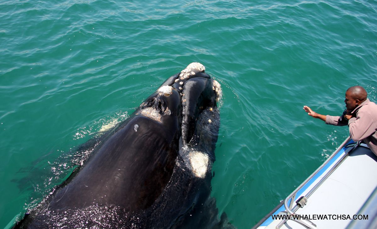 Dyer Island Cruises: Whale Watching