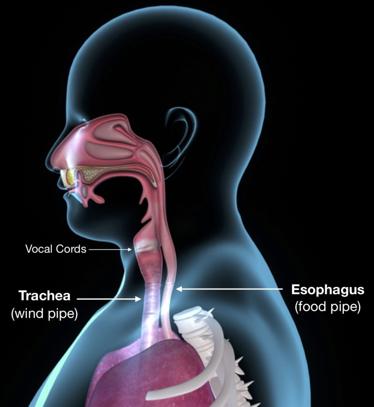 Anatomy of the airway