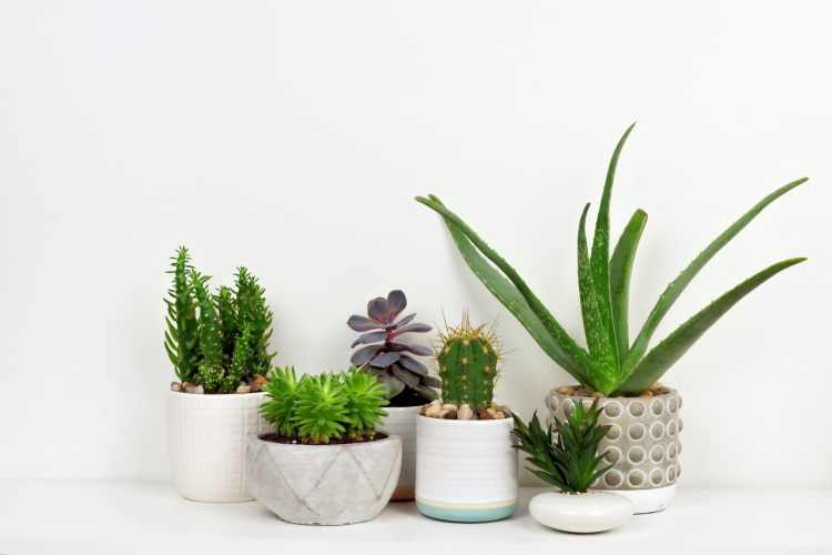 office succulents are a refreshing work from home gift