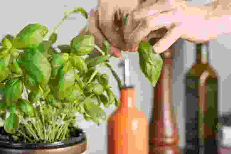 fresh basil is a delicious summer vegetable