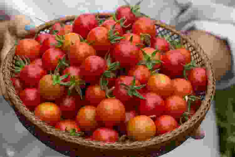 Sun-ripened tomatoes are at their peak in summer