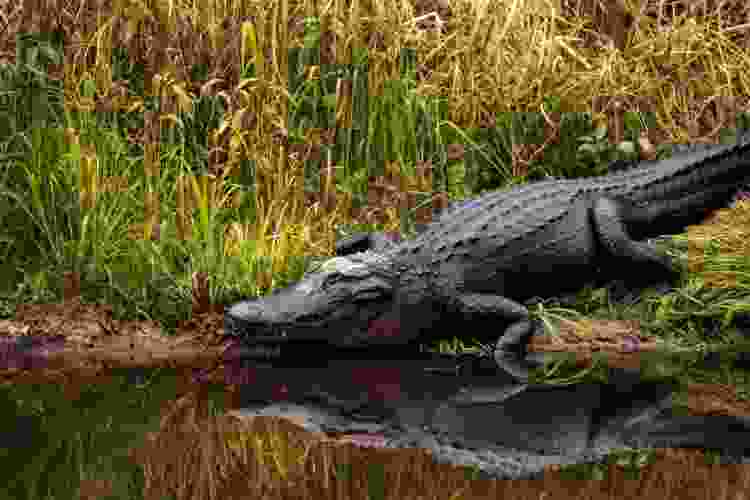 alligator sitting by a new orleans pond