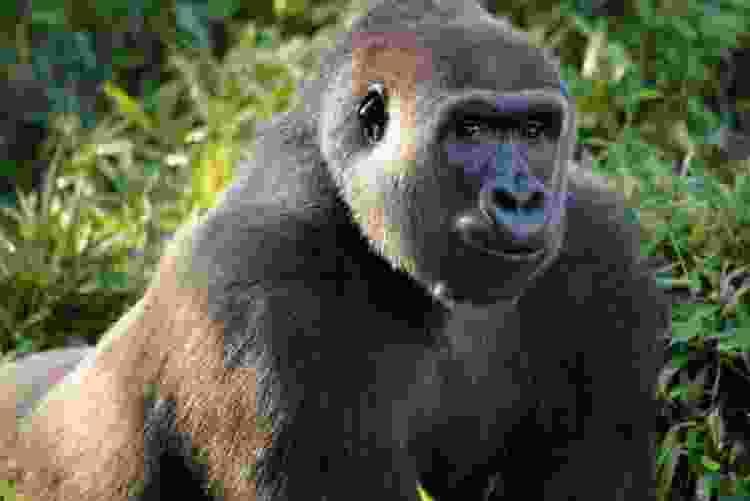 gorilla at the dallas zoo